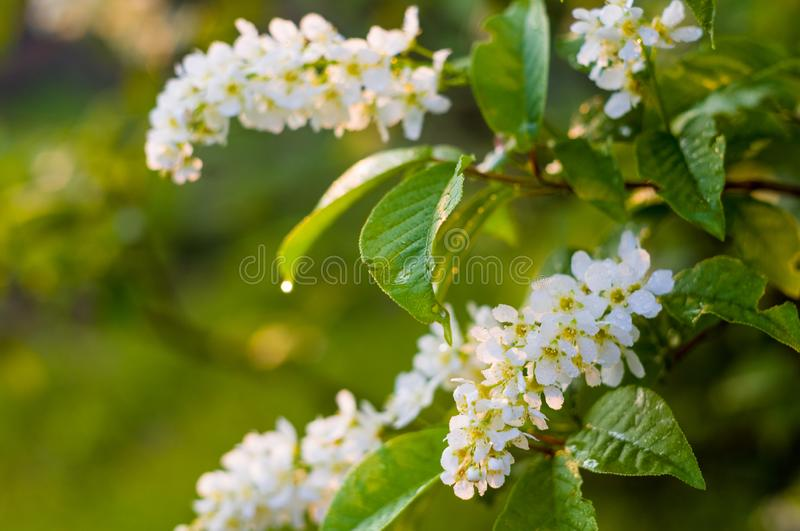Background of blooming beautiful flowers of white bird cherry in raindrops on a sunny day in early spring close up, soft focus royalty free stock photos