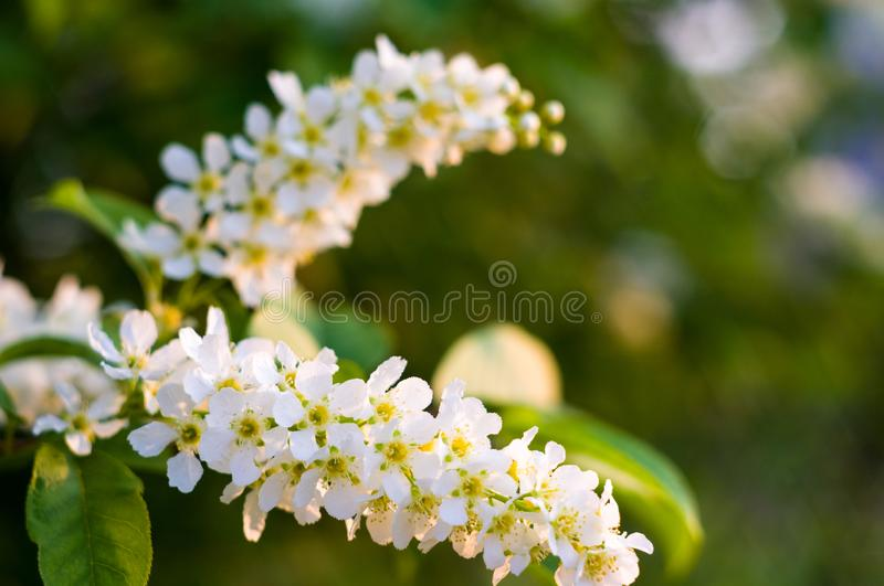 Background of blooming beautiful flowers of white bird cherry in raindrops on a sunny day in early spring close up, soft focus royalty free stock photography