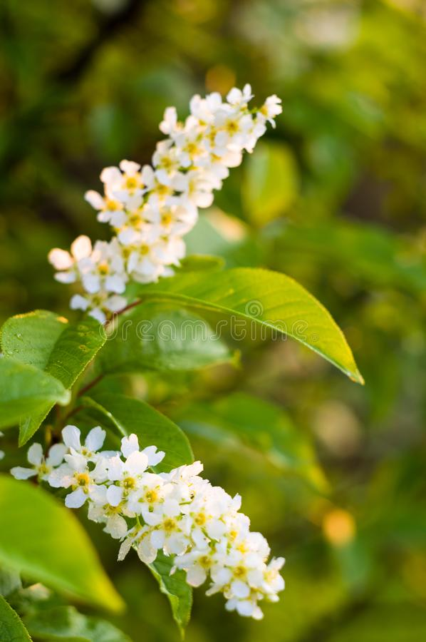 Background of blooming beautiful flowers of white bird cherry in raindrops on a sunny day in early spring close up, soft focus stock photography
