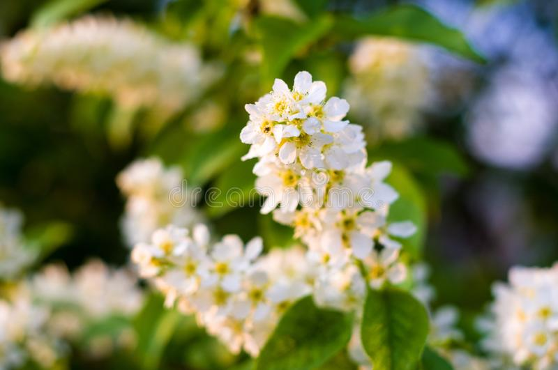 Background of blooming beautiful flowers of white bird cherry in raindrops on a sunny day in early spring close up, soft focus royalty free stock photo