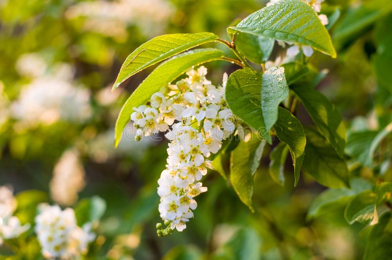 Background of blooming beautiful flowers of white bird cherry in raindrops on a sunny day in early spring close up, soft focus. Background of blooming beautiful stock images