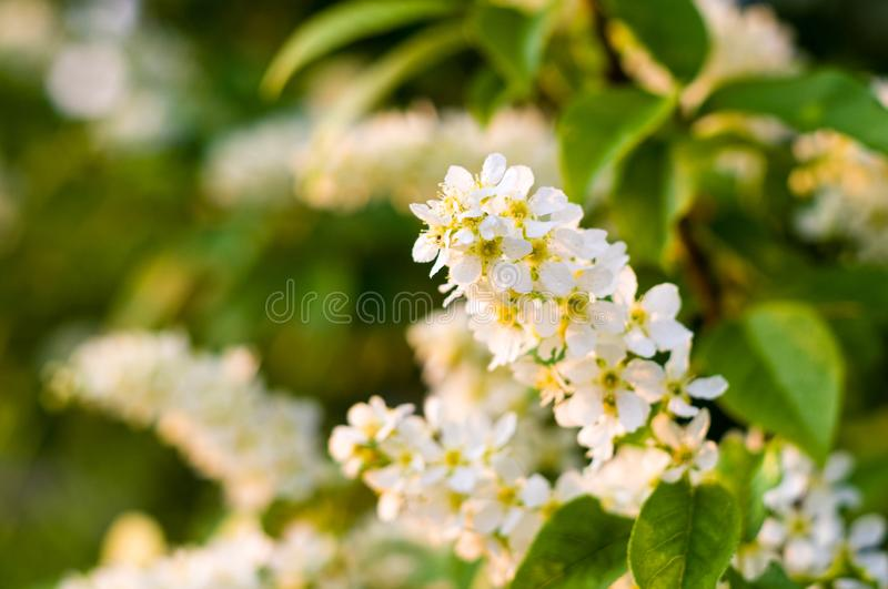 Background of blooming beautiful flowers of white bird cherry in raindrops on a sunny day in early spring close up, soft focus. Background of blooming beautiful royalty free stock images