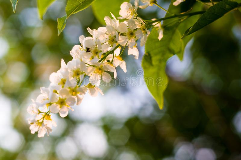 Background of blooming beautiful flowers of white bird cherry in raindrops on a sunny day in early spring close up, soft focus. Background of blooming beautiful royalty free stock image