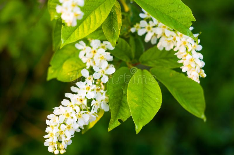 Background of blooming beautiful flowers of white bird cherry in raindrops on a sunny day in early spring close up, soft focus. Background of blooming beautiful stock image