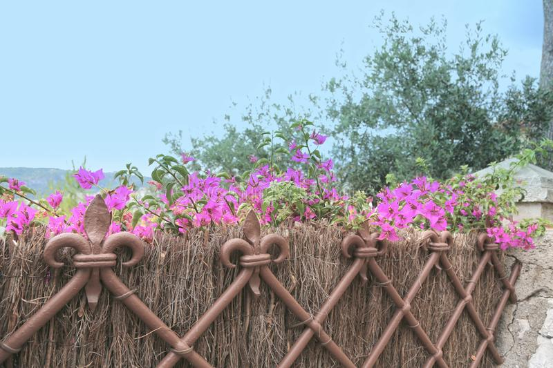 Background blooming bougainvillea and fence heraldic lily, royal bourbon lily. Background blooming bougainvillea and iron french fence heraldic lily, royal stock photo