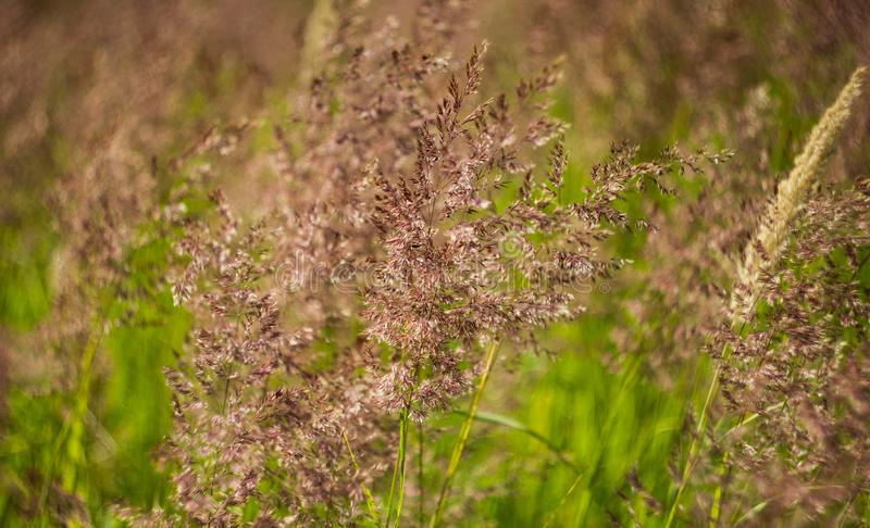 Background with blossoming field of green herbs. Fragrant ear and meadow bluegrass close-up.  royalty free stock photo