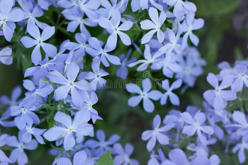 Background of blue phlox on the garden. Background of blue phlox on the spring garden stock photo