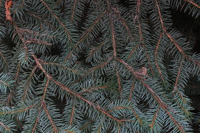 Background of a blue spruce branches stock images