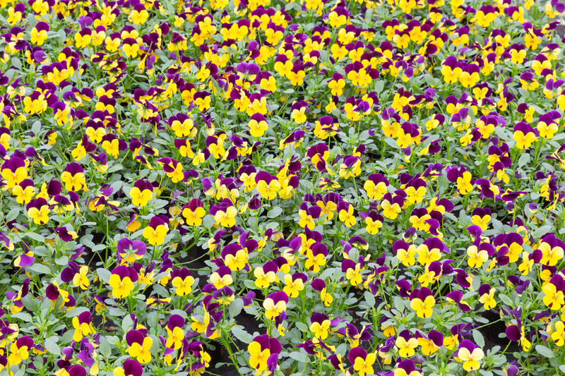 Background of blue and yellow viola stock photo