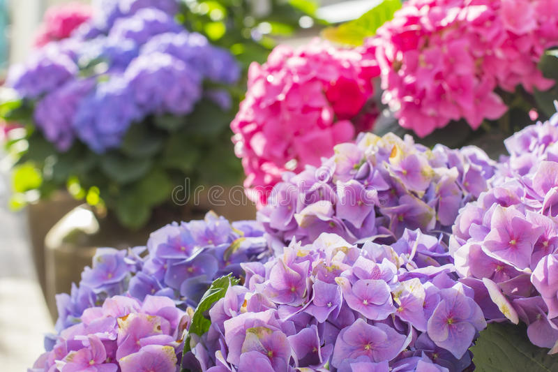 Background blur beautiful purple hydrangea flowers in a pot. On a city street in Riga stock images