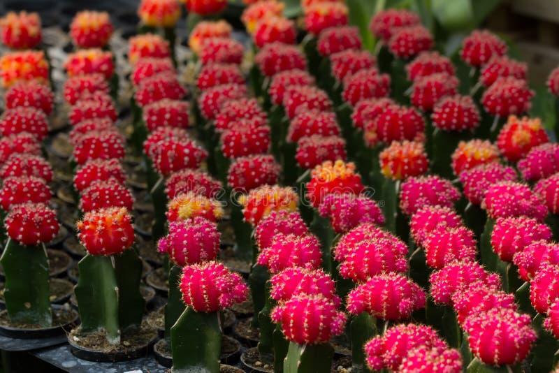 Background blur Cactus Gymnocalycium mihanovichii f. Variegata many colorfull orange,red,pink,yellow. royalty free stock photo