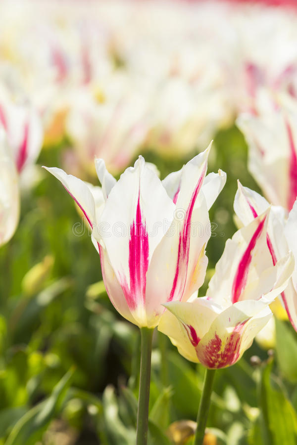 Background blurred beautiful white tulips on the tulip festival royalty free stock images