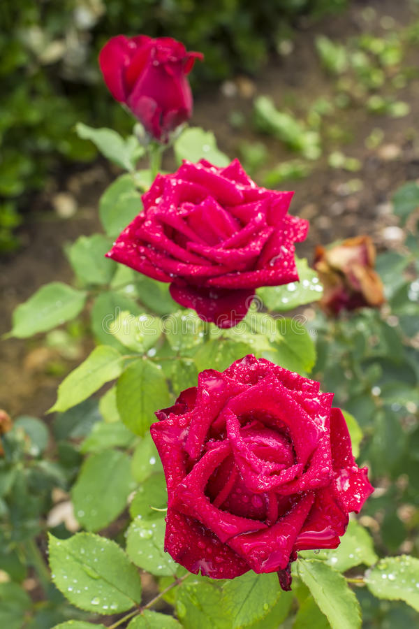 Background blurred landscape of three red roses in the morning dew in the garden of the Alhambra stock photo
