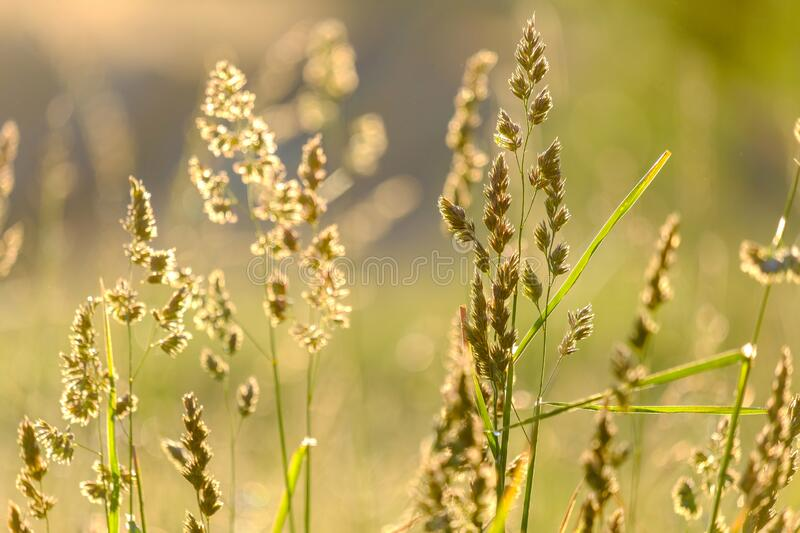 The background is blurred out of focus grass blades of field plants in the background light on a meadow. On a summer morning royalty free stock images