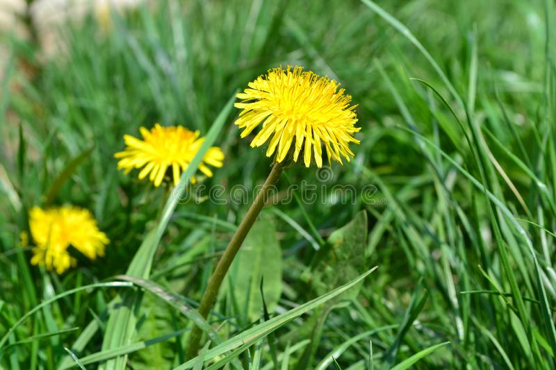 Background bokeh with a yellow flower of a dandelion. Background bokeh with a yellow flower of dandelion stock images