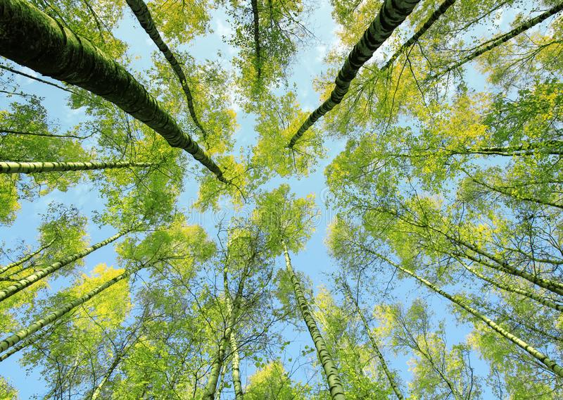 Background bottom view of the crowns and the tops of birch trees stretch to the blue clear sky with bright green young leaves in. The spring royalty free stock images