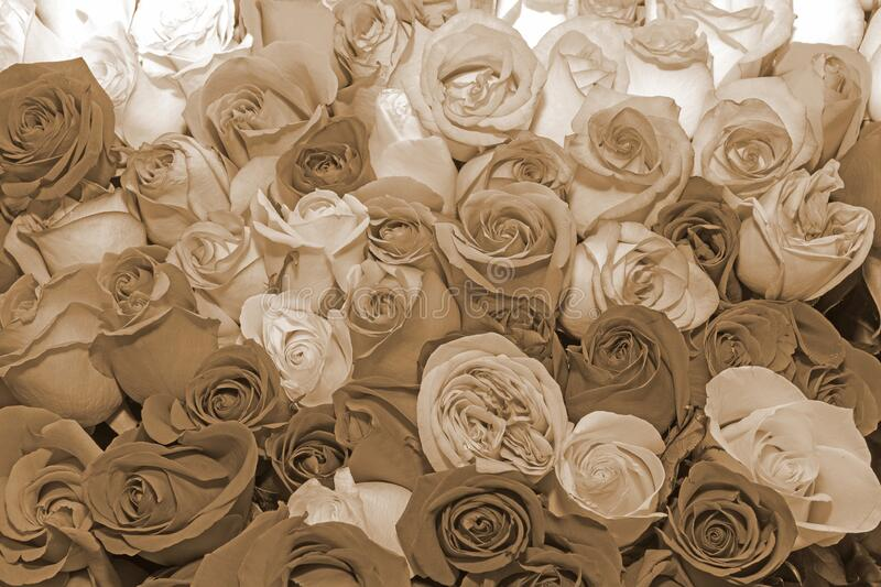 Background of rosebuds. Texture. Design. Toning. Sepia. Effects. Close up. Background of bouquets of flowers. Roses. Design. Toning. Close up royalty free stock image
