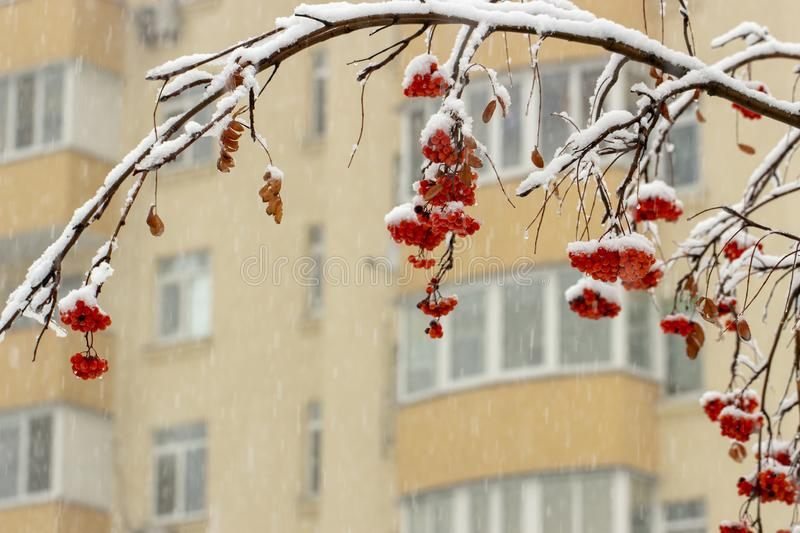 Background with bright red berries of mountain ash under snow. Close up royalty free stock photography