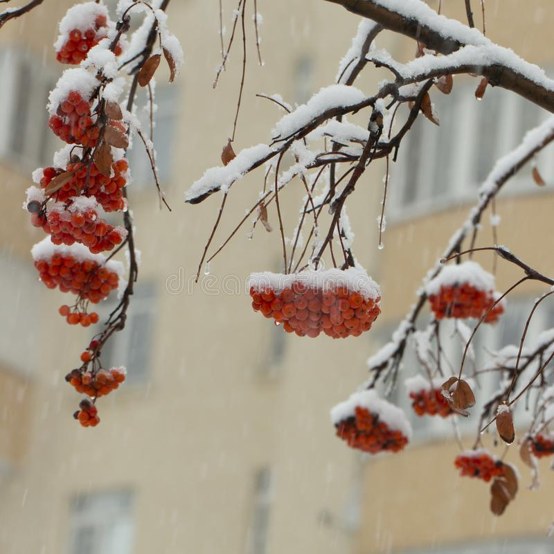 Background with bright red berries of mountain ash under snow. Close up stock photos