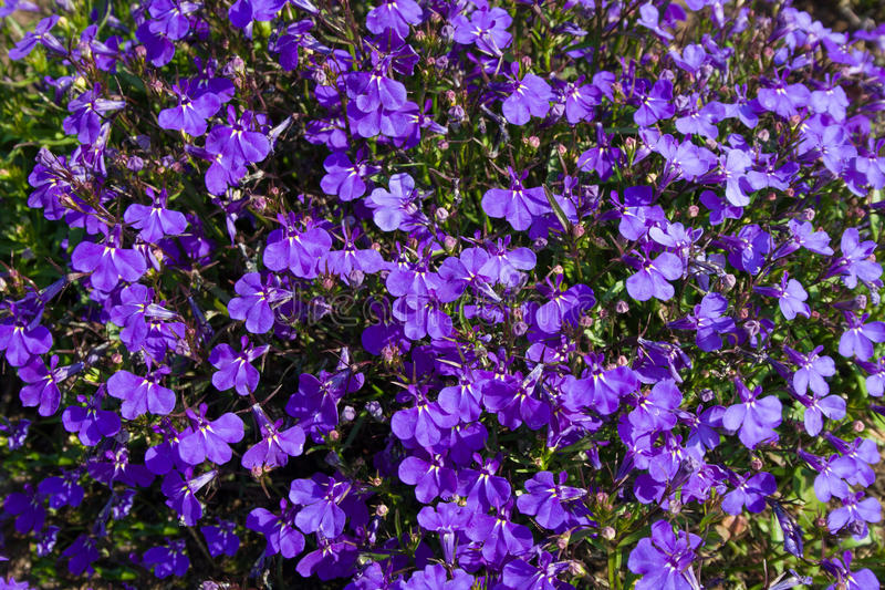 Background with bright violet flowers and green leaves. Bright violet flowers and green leaves as a background in summer sunny day stock image