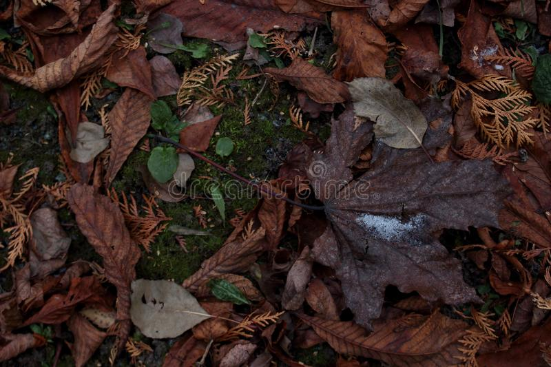 Background with a brown maple leaf lying on a carpet of fallen leaves and green moss. stock photos