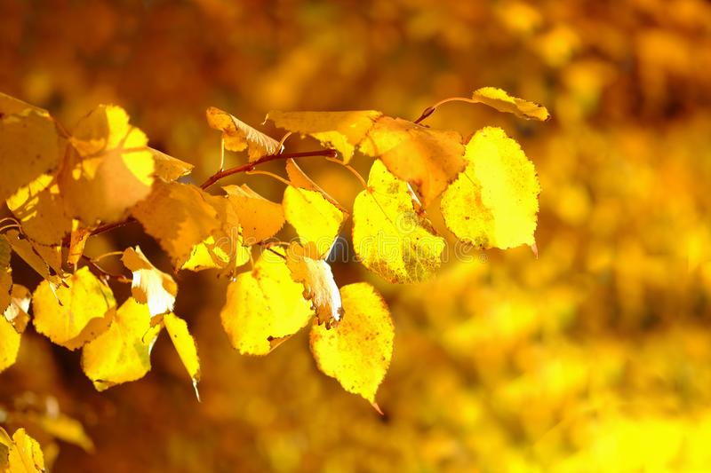 Background with a brunch of a birch with golden autumn leaves stock photos