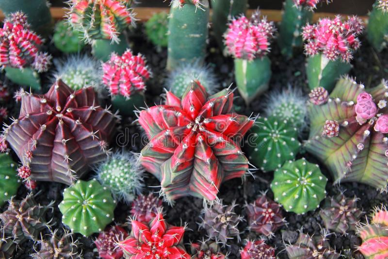 Top view cactus garden ,center focus. royalty free stock images