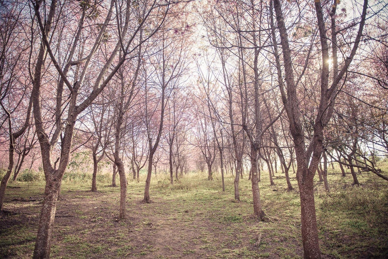 Background of Cherry blossom forest with soft focus stock photo
