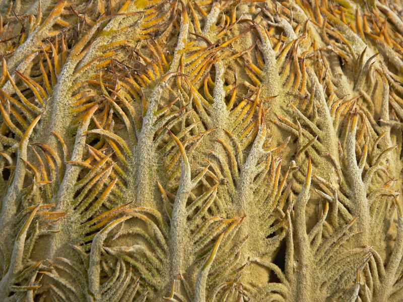 Background: close-up of Cycad cone (cycas revoluta). Close-up of Cycad cone royalty free stock images