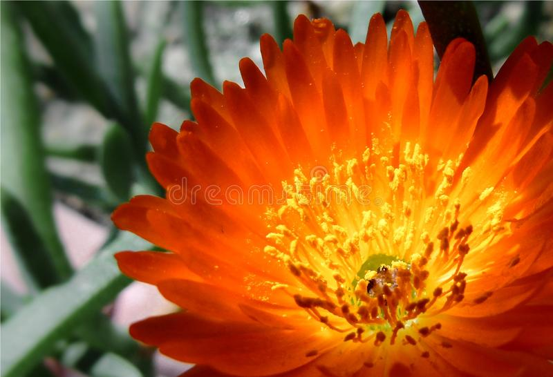 Closeup of a little orange flower of a succulent plant, flowery fat plant royalty free stock images