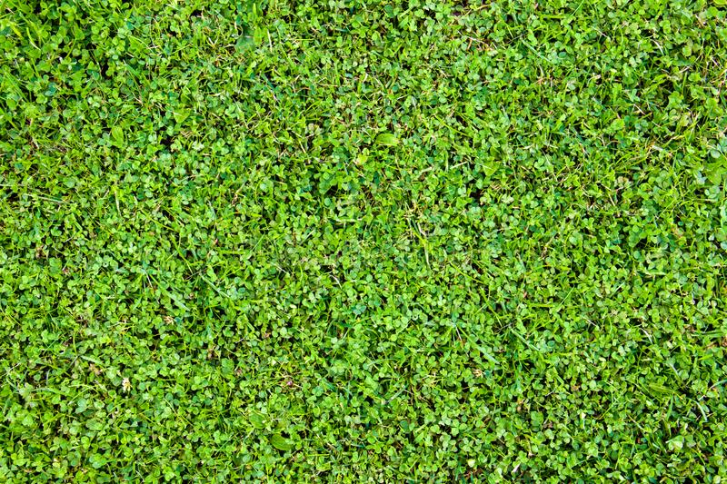 Background from clover leaves and grass. Bright juicy greens. Grass carpet. Summer background royalty free stock images