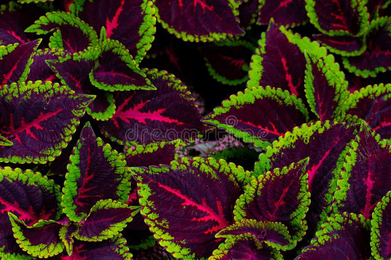 Background with coleus plant stock image
