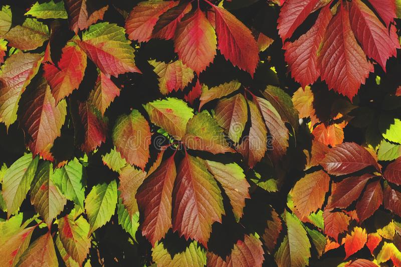Background of colorful leaves of decorative ivy. Summer time royalty free stock photos