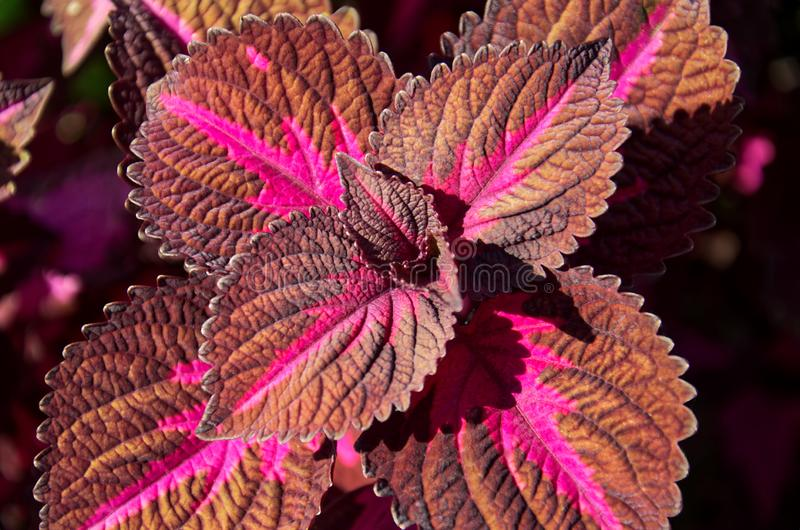 Background of colorful leaves. Red and green leaves of the coleus stock images