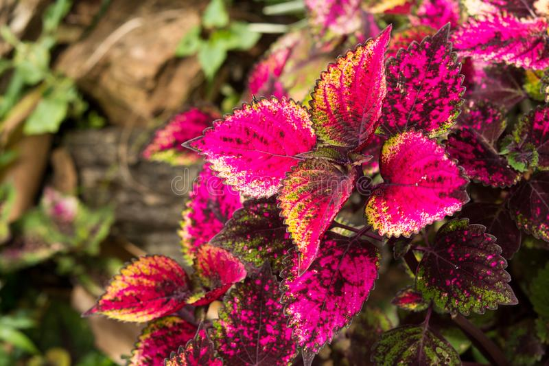 Coleus leaves, Background of colorfully leaves, Colored leaves on a bush. Background of colorfully leaves, Colored leaves on a bush royalty free stock photo