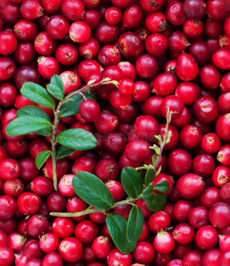 Background Of Cranberry Royalty Free Stock Photo