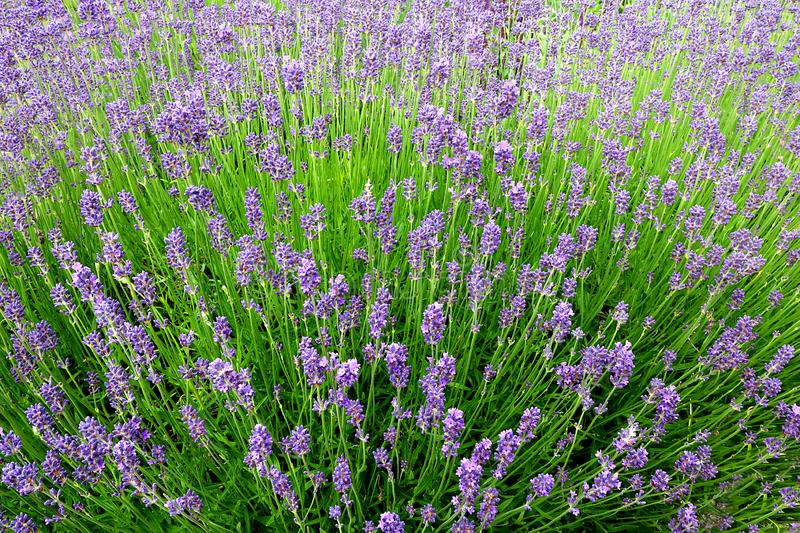 Lavender plant in bloom. Background created by a garden with a Lavender plant in full bloom stock images