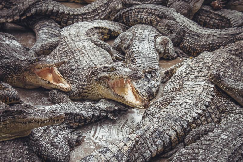 Background of crocodiles with open mouths stock photos