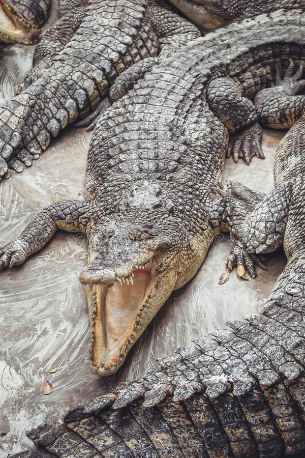 Background of crocodiles with open mouths stock images