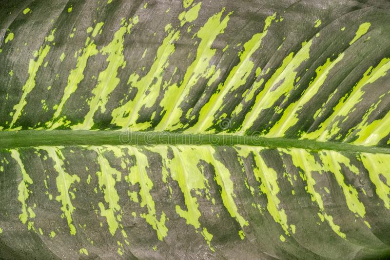 Background of the dieffenbachia leaf close-up royalty free stock images