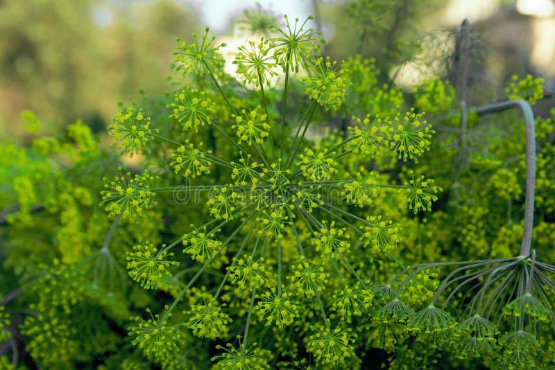 Background with dill umbrella closeup. Garden plant. Fragrant dill on the garden in the garden royalty free stock photos