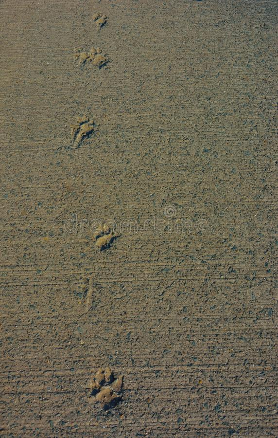 Background: dog footstep prints in concrete royalty free stock photos