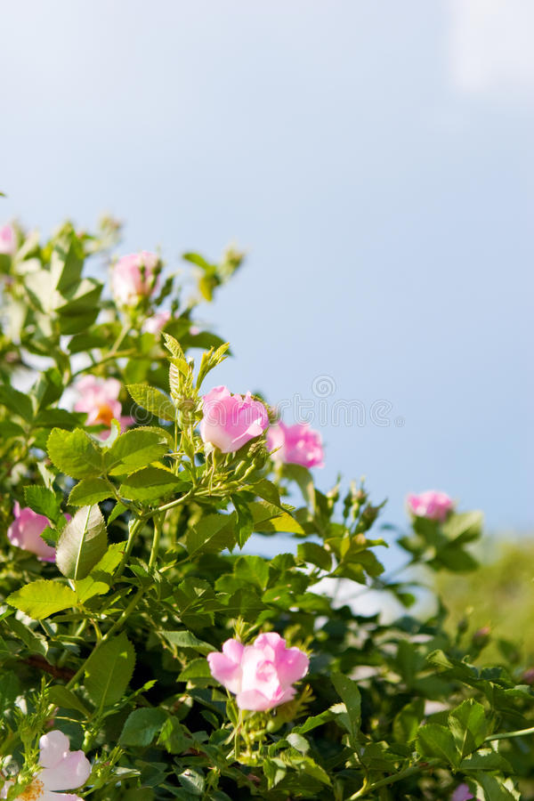 Background of dog-roses stock photos