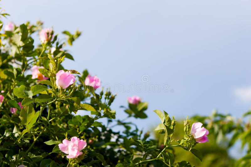 Background of dog-roses stock images