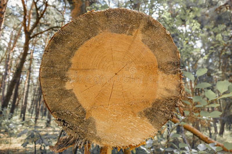 Background of dry sawn pine logs in the forest stock photos