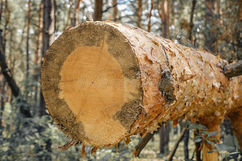 Background of dry sawn pine logs in the forest stock images