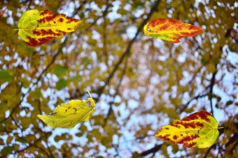Background fall of four autumn leaves royalty free stock photo