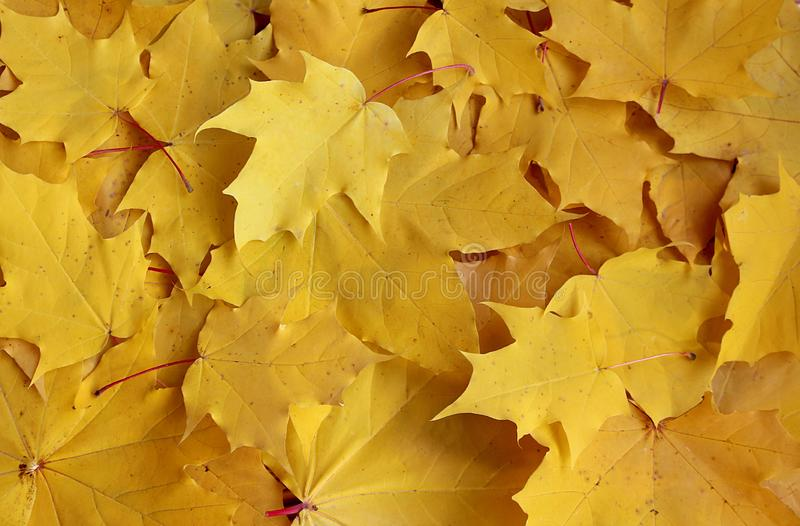 Texture yellow maple leaves royalty free stock images