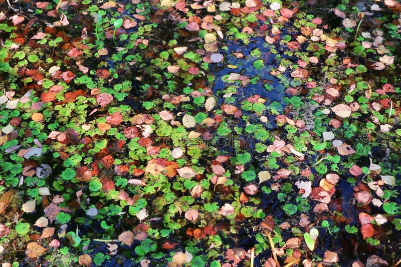 Background of fallen leaves of different colors in the water. stock photography