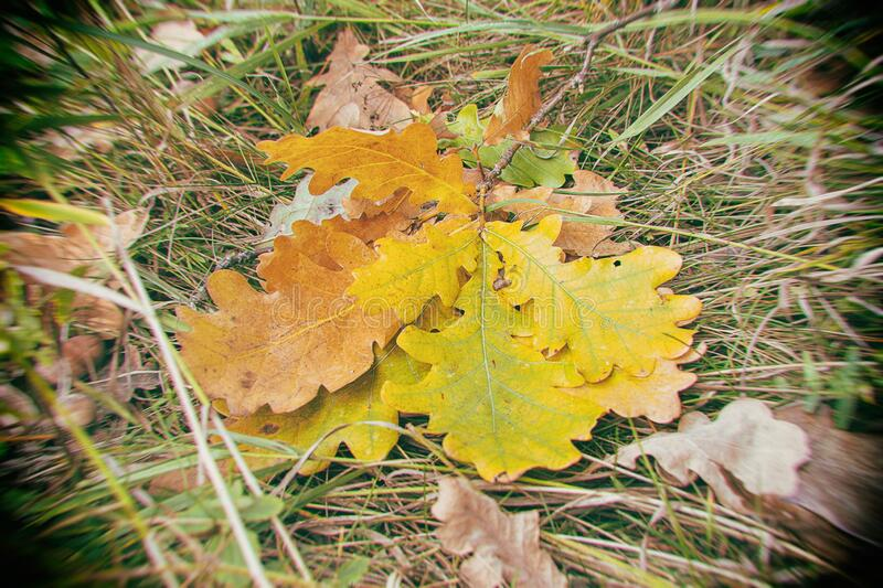 Fallen to the ground autumn yellow orange oak leaves stock photography